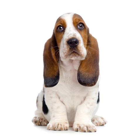 hound names basset hound names as unique as this