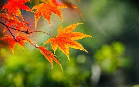 wallpaper pohon coklat ariek ariyani daun momiji oleh oleh asli dari negeri