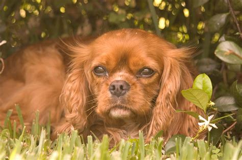 cavalier king charles spaniel puppies adoption cavalier king charles spaniel rescue groups
