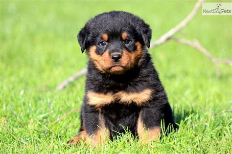rottweiler puppy names jagger rottweiler puppies dogs tyxgb76aj quot gt this the o jays