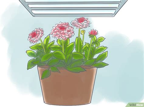 dalia in vaso 3 modi per coltivare la dalia in vaso wikihow
