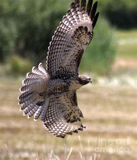 i caught this bird flying here in central oregon