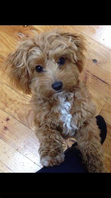 Do Cavapoos Shed by 100 Ideas To Try About Cavoodles Animal Pictures Toys