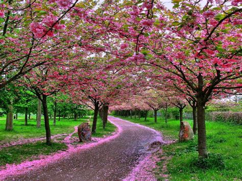 japanese cherry blossom tree beautiful flower wallpapers for you japanese cherry