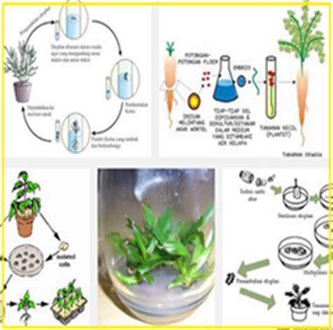 Bibit Sengon Layu media kultur jaringan tanaman bunga hias