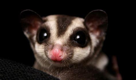 mammifero volante mammifero volante 28 images lemure volante