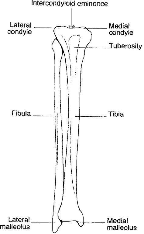 shin bone diagram tibia definition from answers