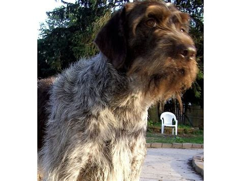 puppies for sale in muskegon mi purepoint kennel gwp german wirehaired pointer breeder muskegon michigan