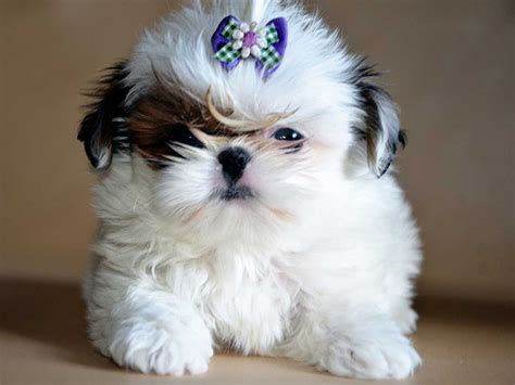 can i give my benadryl can i give my shih tzu benadryl 1001doggy