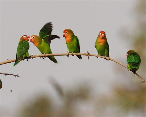 free download images of love birds amazing wallpapers love bird widescreen desktop wallpapers 11788 amazing