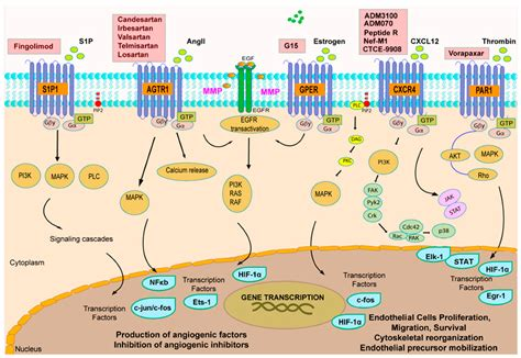 IJMS | Topical Collection : G Protein-Coupled Receptor ... G Protein Coupled Receptors Pathway