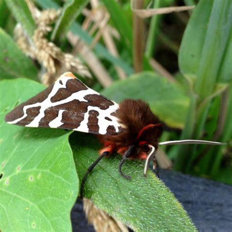 Garden Tiger Moth by Garden Tiger Moth