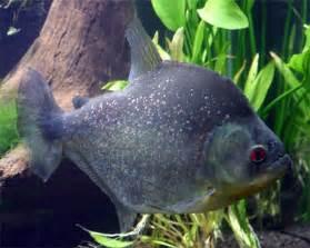 Quick Facts :: Black Piranha