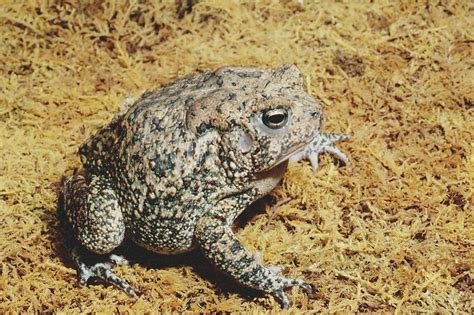 houston toad habitat map houston toad facts and pictures hibian fact