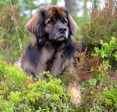 breed leonberger leonberger breed information pictures characteristics facts dogtime