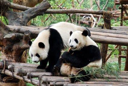 St Panda Biru Kid to chengdu with children more than pandas