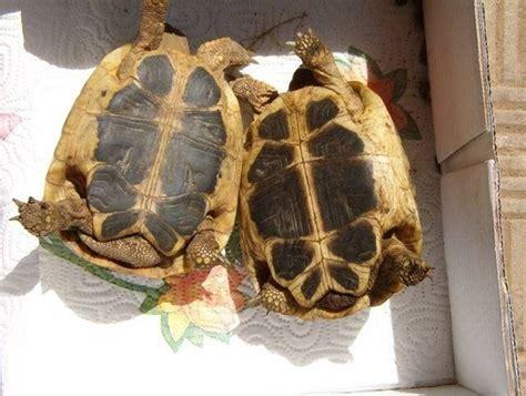 tartaruga hermanni alimentazione tartarughe terra tartarughe tartarughe di terra