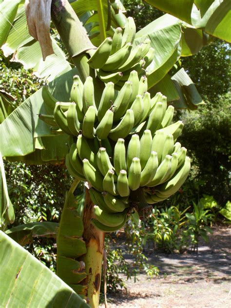 bananas on tree the banana fruit myths facts and health benefits