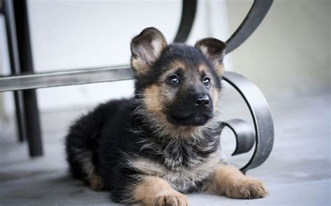 free german shepherd puppy german shepherd puppy wallpaper high definition high quality widescreen