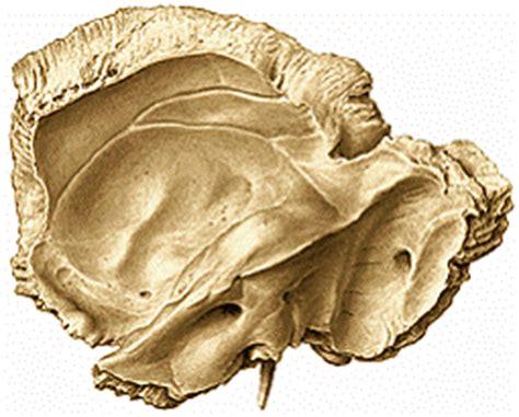 imagenes de huesos temporales huesos del cr 225 neo p 225 gina 2 monografias com