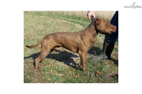 meet bruiser  cute american pit bull terrier puppy