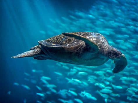 Turtle Sea green sea turtle open waters reptiles chelonia mydas at