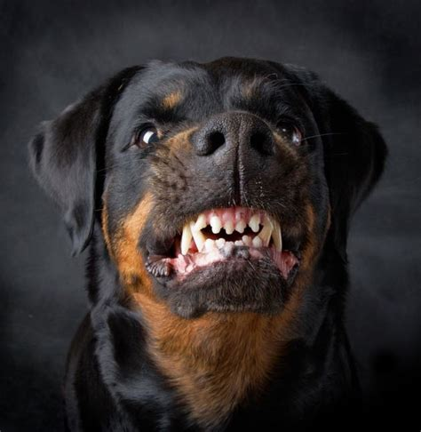 rottweiler aggression german shepherd vs rottweiler one breed wins