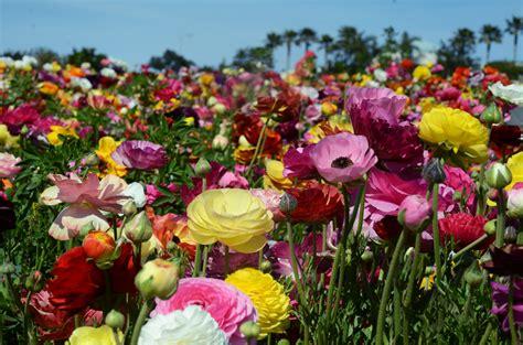 Carlsbad Flower - flower field carlsbad landscaping pinterest