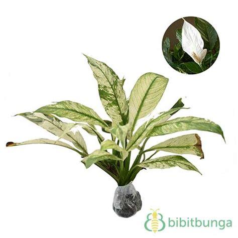 Tanaman Hias Variegata tanaman variegated peace bibitbunga