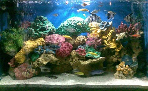 Makanan Ikan Nila Hias budidaya ikan hias aquaculture