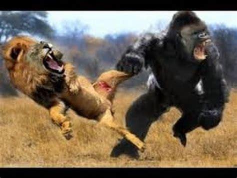 lion  big baboon  leopard  tiger real fight wild animal attacks  guepardo animal