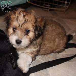 havanese nj havanese puppies for sale breed profile greenfield puppies