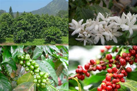 Grow Cup how is coffee made the journey of coffee from seeds to