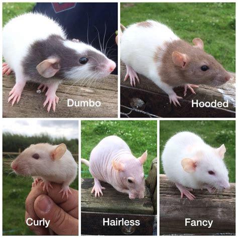 rat colors fendyke fancy rats fendykefancyrat