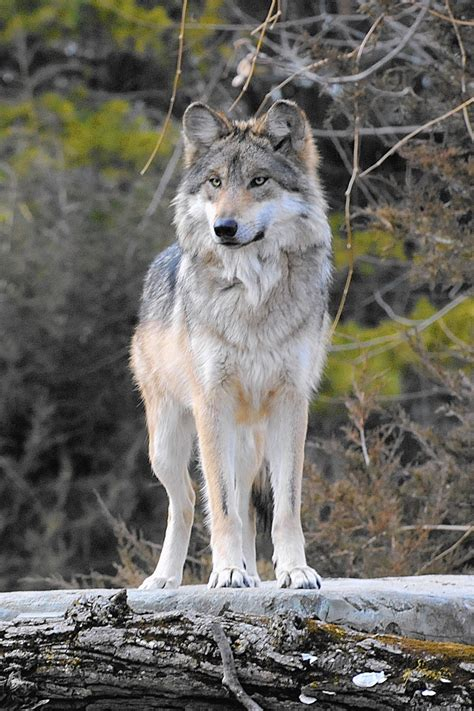 30 best stylized wolves images on brookfield wolf freed for recovery program found dead in new mexico chicago tribune