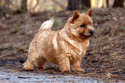Norwich Terrier Shedding by Fci Groep 3 Terriers Breeds Picture