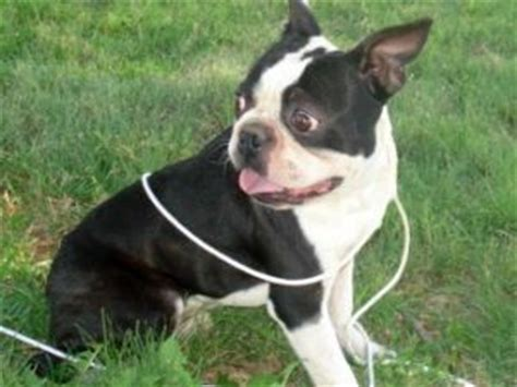 boston terrier puppies for sale in mn boston terrier puppies in mn breeds picture
