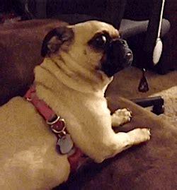 sassy pug eye gif find on giphy