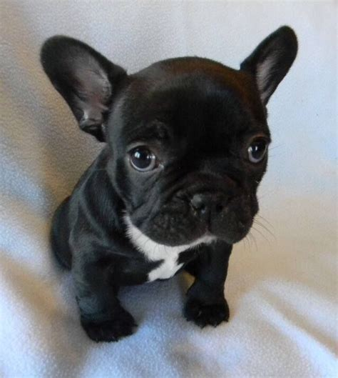 puppy le pew 33 best images about my pets on puppys bulldog puppies and pepe le pew