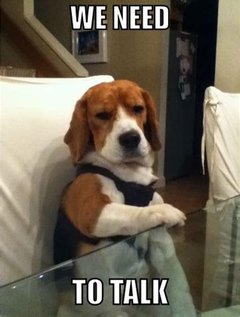 Beagle Meme - we need to talk beagle buddies