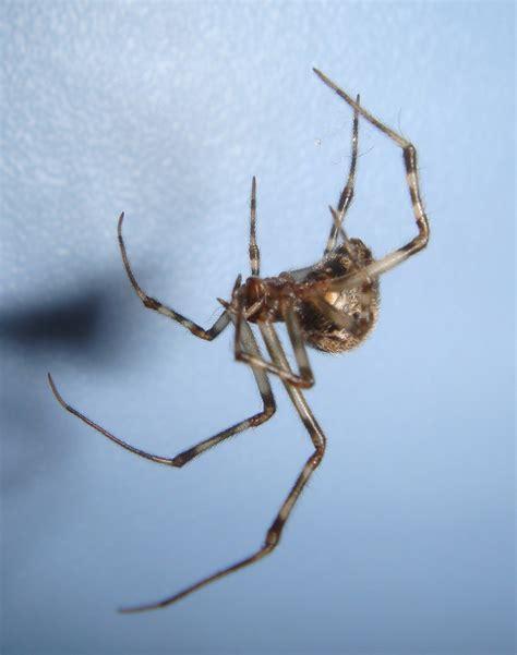 common house spider common house spider spiders in sutton massachusetts