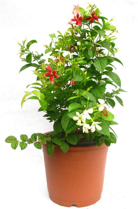 buy madhumalti flower plant    prices  india
