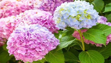 Tanaman Bunga Dahlia Ungu Tinggi 30 50 Cm cara menanam dan budidaya bunga bokor di rumah agar cepat berbunga bagi pemula flora dan fauna