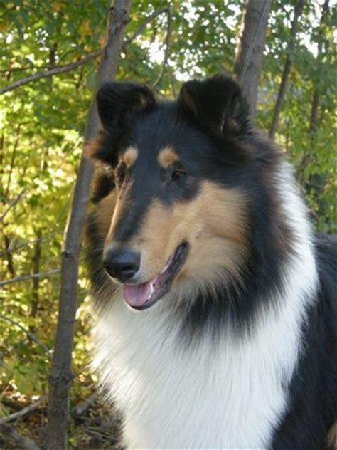 tri color dogs tri colored collie lassie come home