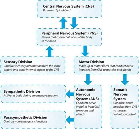 Section 35 3 Divisions Of The Nervous System by Central Nervous System Ck 12 Foundation