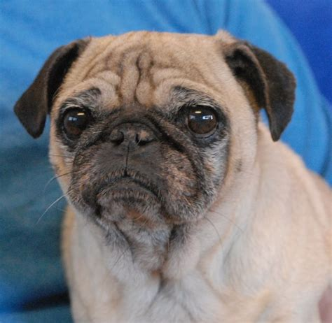 pugs for adoption best 25 pugs for adoption ideas on facts about pugs pug puppies for