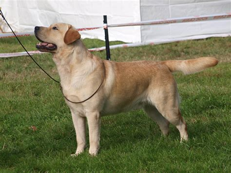 labrador vs golden retriever experience labrador golden adulto photo
