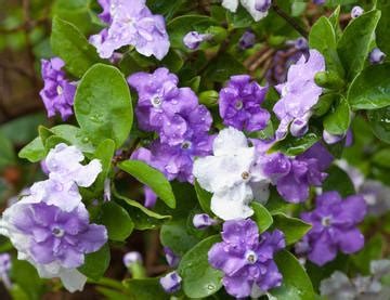 brunfelsia or yesterday today tomorrow care water prune brunfelsias
