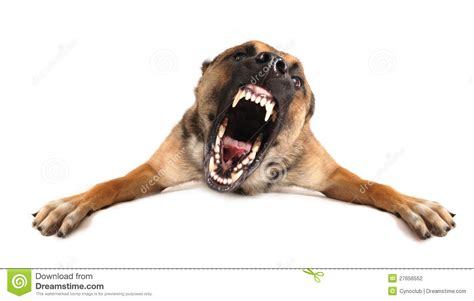 bad dogs bad stock photo image of purebred shepherd violence 27656552