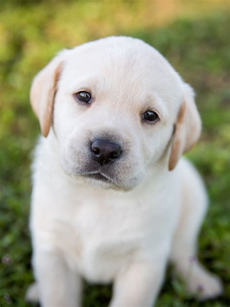 raise  puppy  southeastern guide dogs